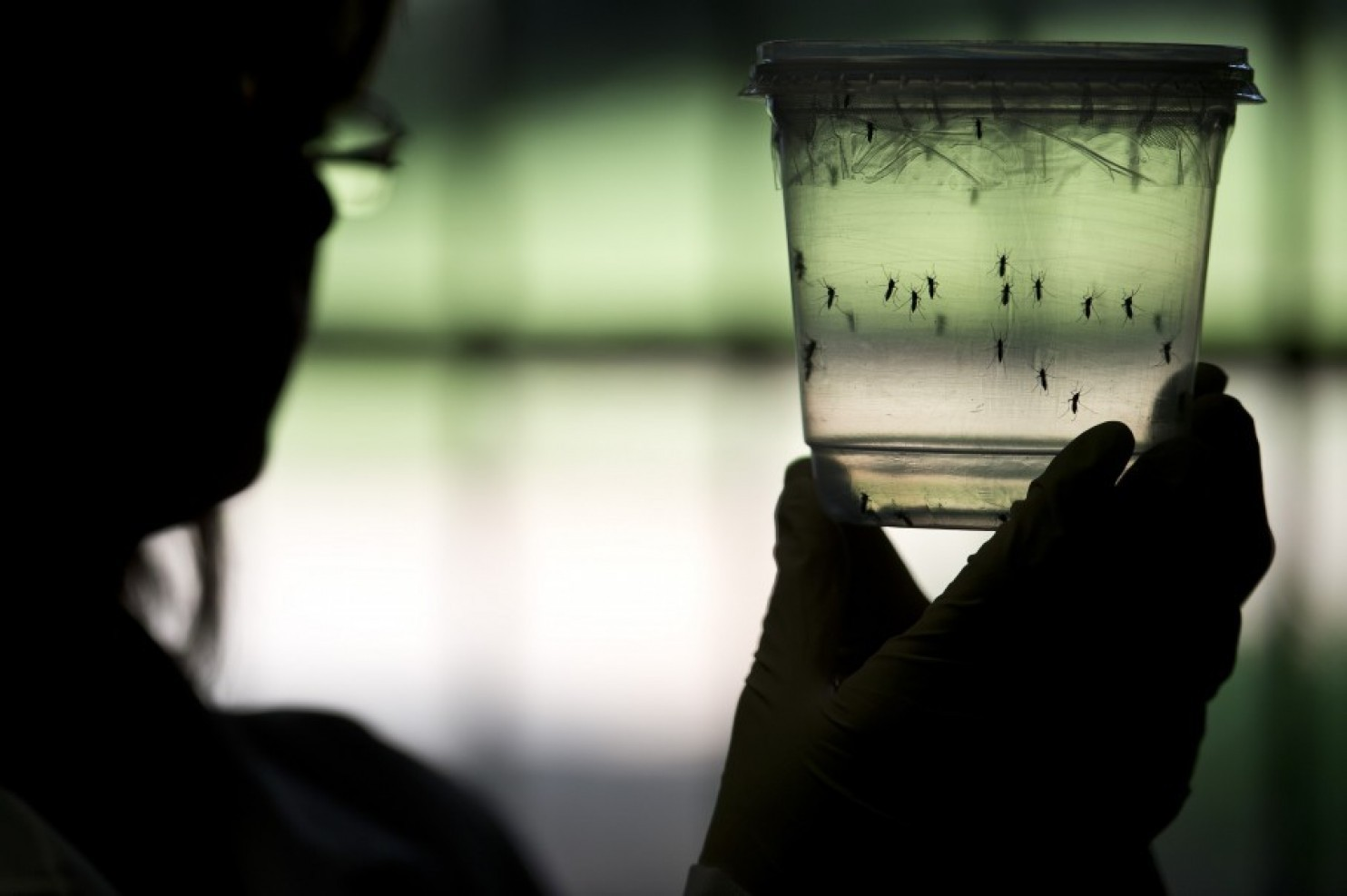 How mosquitoes with 'self-destruct' genes could save us from Zika virus