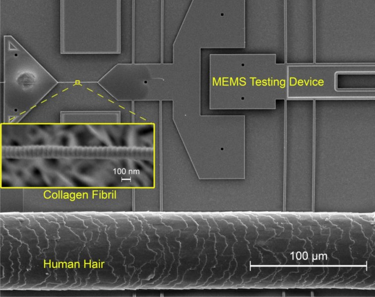 Collagen Nanofibrils in Mammalian Tissues Get Stronger With Exercise